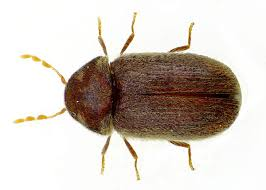 bisciut beetle